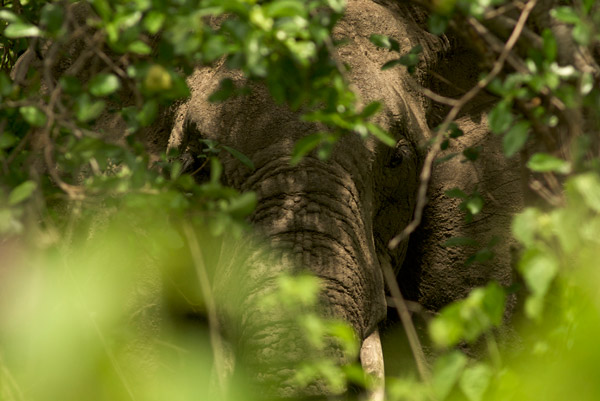 Elephant in Tanzania's Udzungwa Forest. Photo by: Michele Menegon.