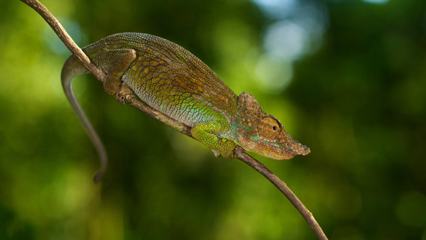 An undescribed species of chameleon in southern Tanzania. Photo by: Michele Menegon.