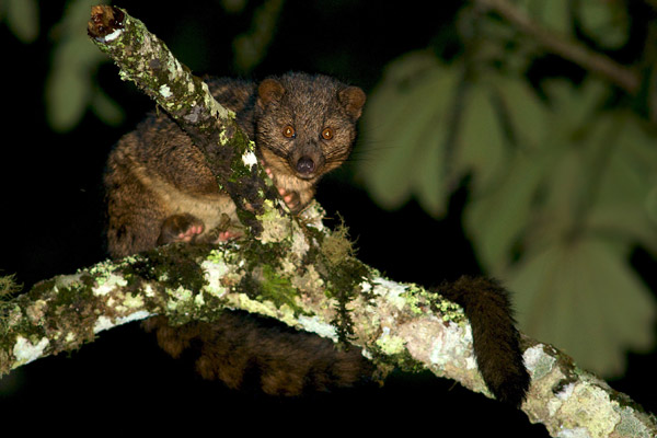 The rarely seen African palm civet. Photo by: Michele Menegon.