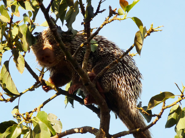 The Baturite porcupine lives in the trees. Photo by: Hugo Fernandes-Ferreira.
