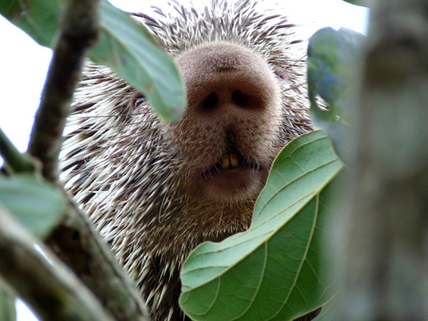 The Baturite porcupine has a bulbous nose. Photo by: Hugo Fernandes-Ferreira.
