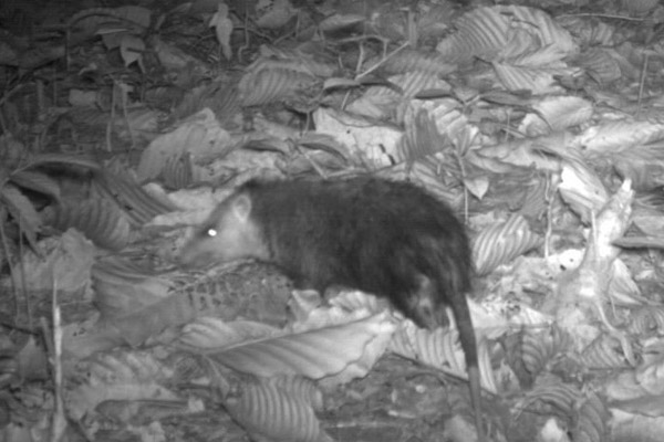 Moon rat in Malaysia's Pasoh Forest Reserve. Photo courtesy of TEAM/Conservation International.