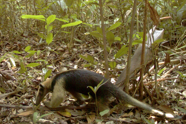 Northern tamandua in Volcàn Barva National Park. Photo courtesy of TEAM/Conservation International.