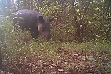 tapir caught on camera trap