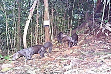 Tayras on camera trap. Photo courtesy of Cove et al.