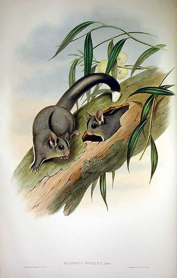 An illustration of sugar gliders (found in both Australia and New Guinea) using a nest cavity. By: John Gould.