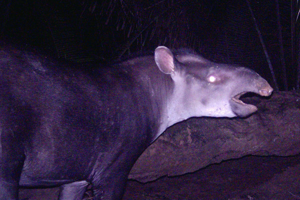 Scientists have uncovered a new tapir in Brazil: Tapirus kabomani. Photo courtesy of: Cozzuol et al.
