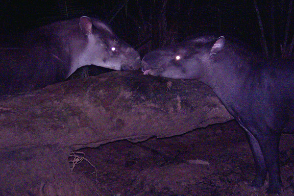 A pair of Kabomani tapirs caught on camera trap. The individual on the left is a female and on the right a male. Females of the new species are characterized by a light patch on lower head and neck. Photo courtesy of Fabrício R. Santos.