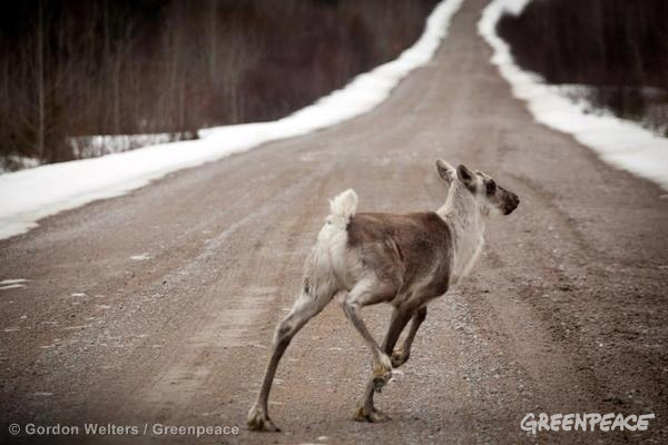Critics say Resolute Forest Products' logging is imperiling woodland caribou. Photo by: Gordon Welters/Greenpeace.