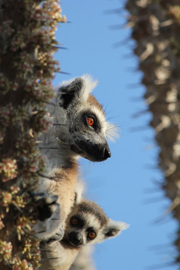 Ring-tailed lemur mom and infant. Photo by: Marni LaFleur.