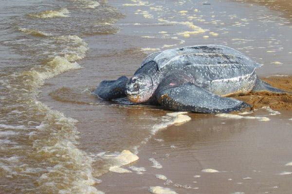 Female leatherback sea turtle after laying eggs on a beach in Suriname. Leatherbacks are recovering in portions of the Atlantic, but remain hugely imperiled in the Pacific. Photo by: Tiffany Roufs.