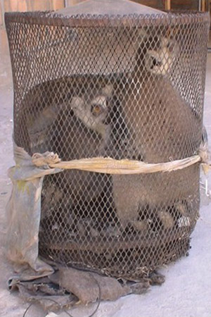 Caged ring-tailed lemurs for the pet trade. Photo by: Dr. F. Riehl.