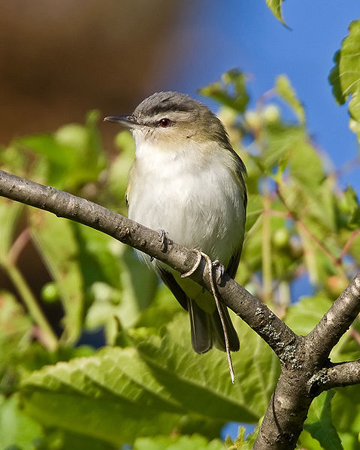 Mercury pollution has been found in red-eyed vireos. Photo by: John Benson.