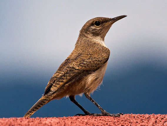 House wren, another common U.S. species that is imperiled by mercury pollution. Photo by: Rhett A. Butler.