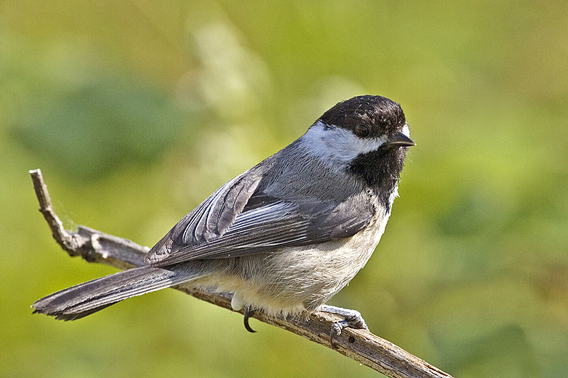 Black-capped chickadee. Recent research has shown that many U.S. songbirds are being impacted by mercury pollution. Photo by: Alan D. Wilson, www.naturespicsonline.com.