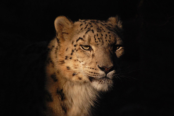 Snow leopard in the Toronto Zoo. Photo by: John Vetterli.