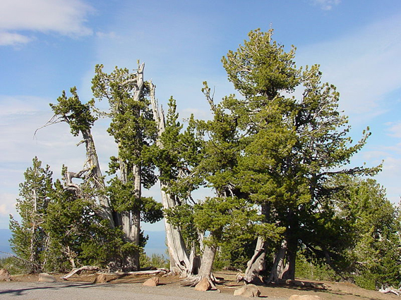 Whitebark pine stand. Photo by: Richard Sniezko/U.S. Forest Service.