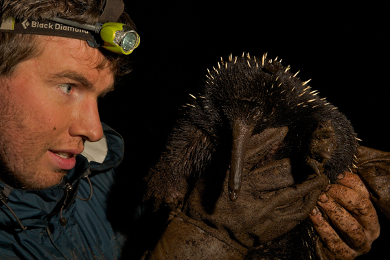 Kristofer Helgen comes face to face with a long-beaked echidna in New Guinea. Photo by: Tim Laman.
