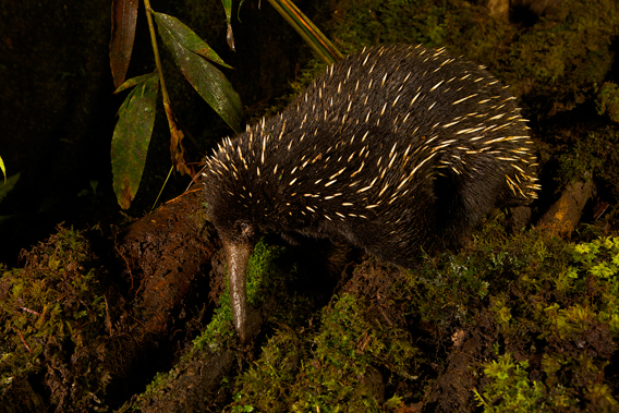 A long-beaked echidna in New Guinea. Photo by: Tim Laman.