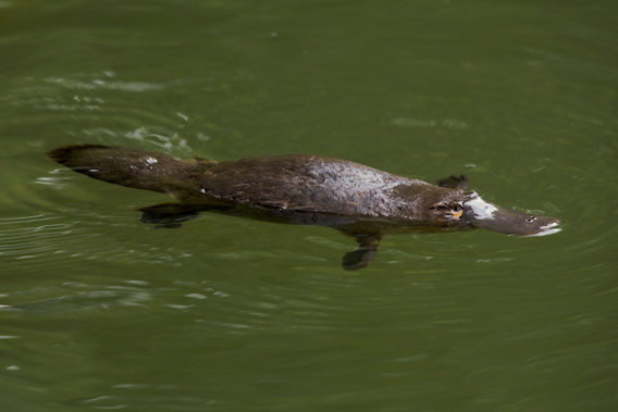 The duck-billed platypus is the world's only other monotreme beyond the four species of echidnas. Photo by: Tim Laman.
