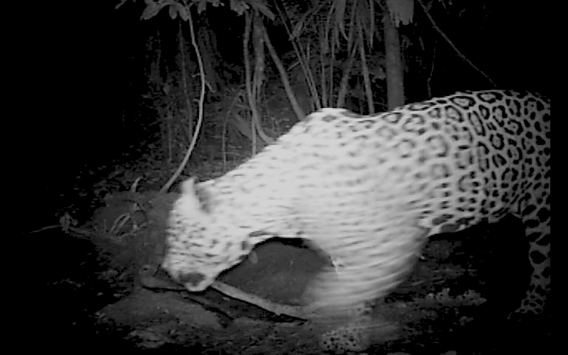 Still from video camera trap of jaguar taken by Paul Rosolie in the lower Piedras.
