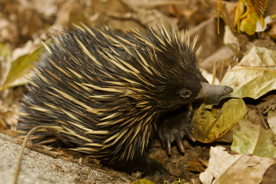 The short beaked echidna is a common species in Australia and the only echidna not considered Critically Endangered. Photo by: Tim Laman.