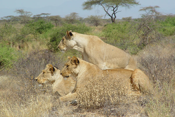 Female lions. Photo by: Ewaso Lions.