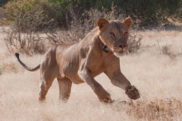 Samburu lion tagged for tracking. Photo by: Ewaso Lions.