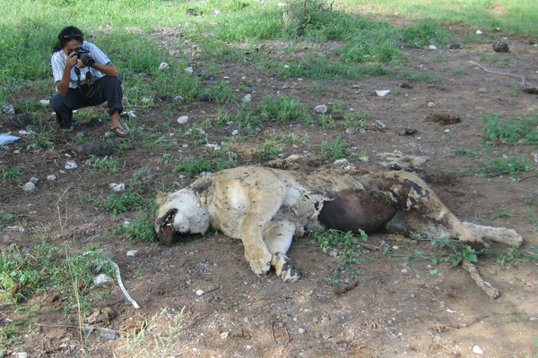 Investigating dead lion. Photo by: Ewaso Lions.