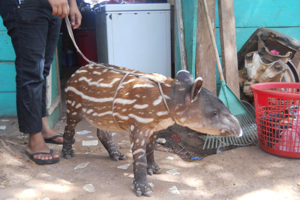 Captive baby tapir confiscated by authorities. Photo by: Christopher Jordan.