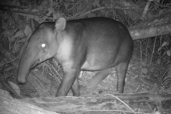 Baird's tapir caught on camera trap in Nicaragua's Caribbean Coast. Photo courtesy of: Christopher Jordan.