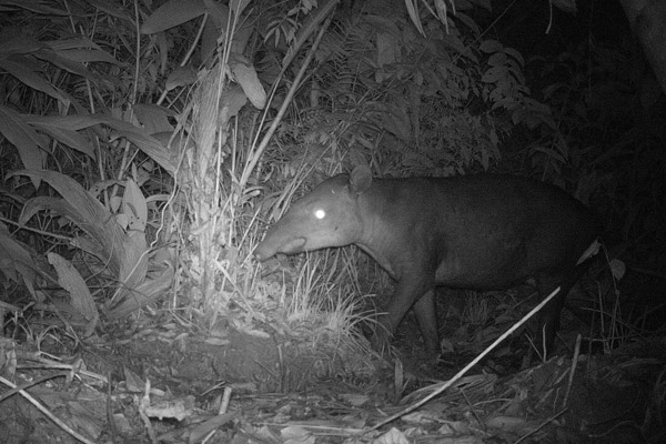 El tapir de Baird en Nicaragua. Foto por: Christopher Jordan.