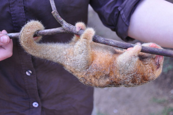 Silky anteater (Cyclopes didactylus) in Nicaragua. Photo by: Christopher Jordan.