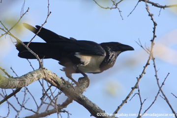 Pied crow in Madagascar. Crows are considered among the most intelligent birds. Photo by: Rhett A. Butler.