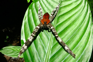 Large unidentified spider in the Congo. Photo by: Roger Peet.