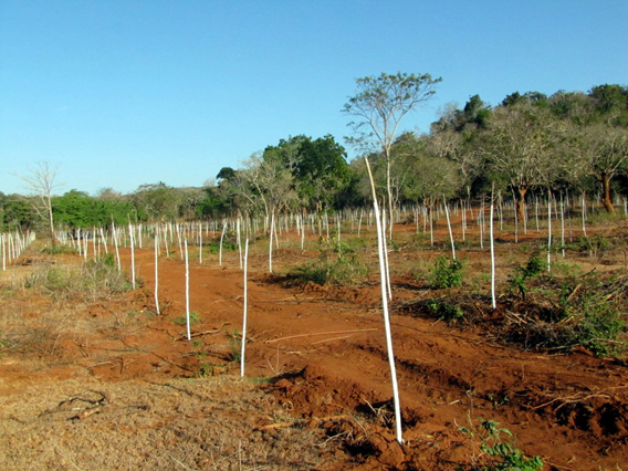 Gliricidia plantation in elephant habitat. Photo courtesy of the Environmental Foundation Limited (EFL).
