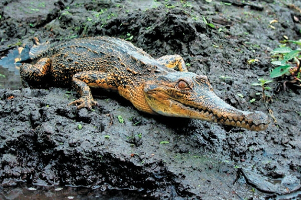 The Central African species of slender-snouted crocodile in Gabon. Photo by: Matt Shirley, UF/IFAS.