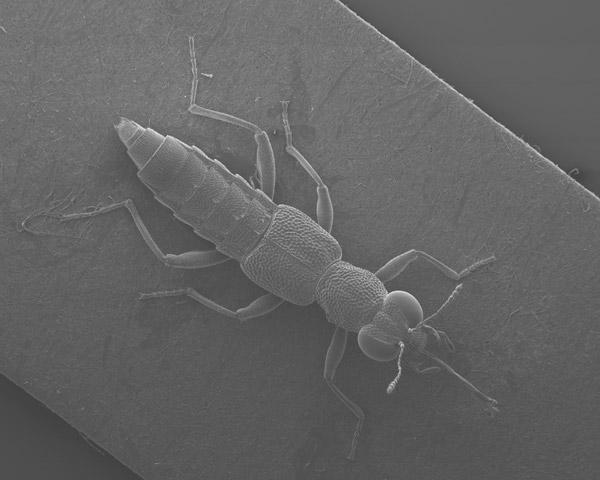 SEM image of Stenus beetle. Photo by: David Spears/Ross Piper.