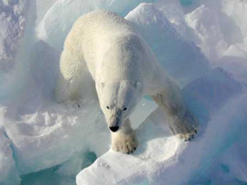Male polar bear. Climate change is melting Arctic sea ice, which is impacting polar bears and other Arctic species. Photo by: USGS.