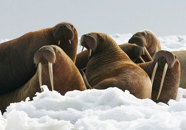 Climate change is imperiling many Arctic species, including walrus who depend on thick sea ice for giving birth. Photo by: USFWS/Joel Garlich-Miller.