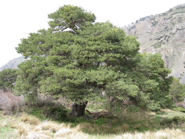 A large, old Scots pine (Pinus sylvestris) in the Sierra de Baza of southern Spain. Photo by: Asier Herrero.