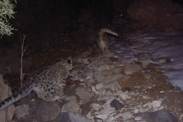 Two snow leopards run past a camera trap in Uzbekistan's Gissar Nature Reserve. Photo by: ©Y. Protas/Panthera/WWF Central Asia Program/Uzbek Biocontrol Agency/Gissar Nature Reserve.