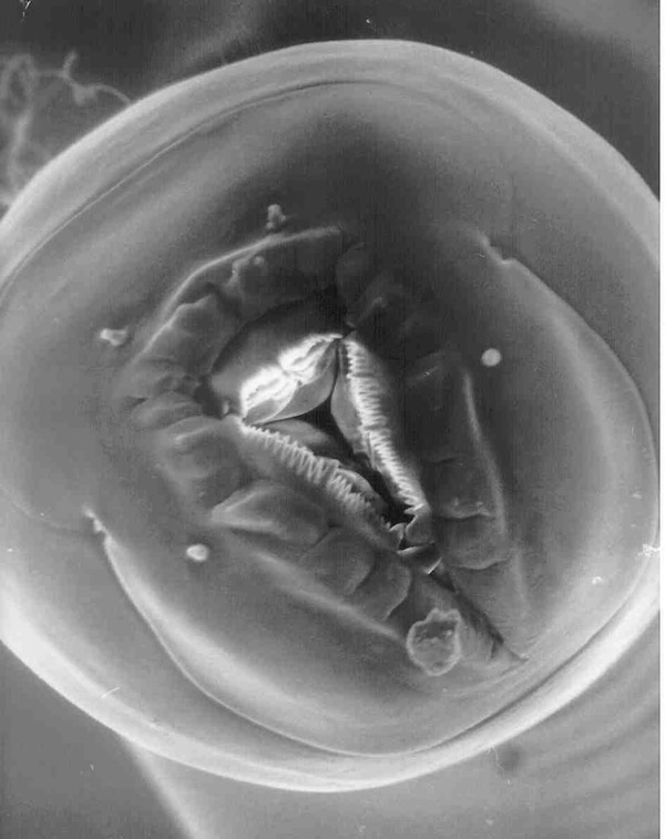 The mouth of Zalophora deinostoma. The three jaw-like structures inside the mouth slice up the prey nematodes that are hunted in the gut of the millipede host. SEM image courtesy of David J. Hunt.