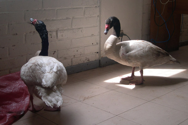 Rescued black-necked swans in Chile. Photo by: Daniel Boroschek.