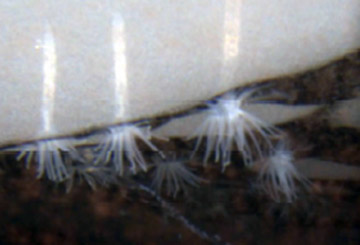the ice anemones: Edwardsiella andrillae. Photo courtesy of Daly et al.