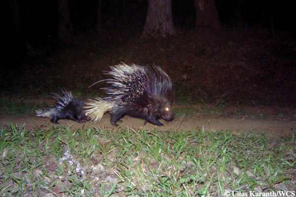 Porcupine family. Photo by: Ullas Karanth/WCS.