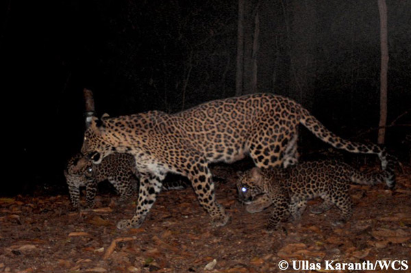 Family of leopards. Photo by: Ullas Karanth/WCS.