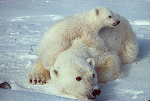 Environmentalists fear that an oil spill in the Arctic Ocean could be devastating for wildlife, including polar bears, which are already hugely impacted by climate change. Photo by: Scott Schliebe.