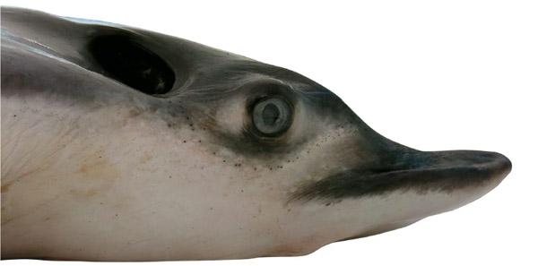 Head of male narutobiei. Photo courtesy of: White et al.