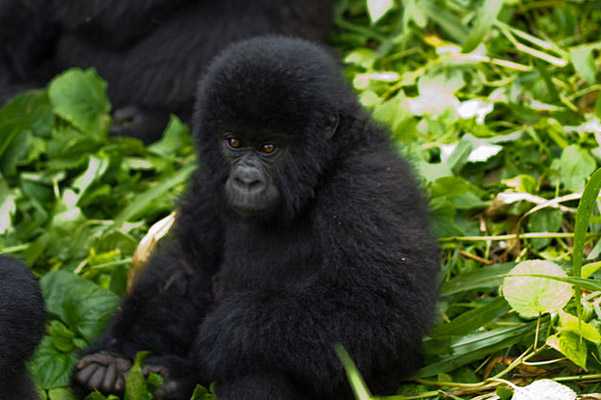 Baby mountain gorilla in Virunga National Park. Virunga is home to one of only two populations of mountains gorillas in the world. Photo by: Cai Tjeenk Willink.